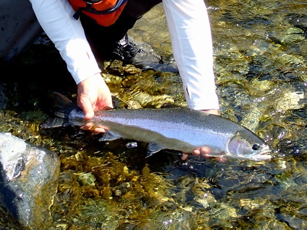 A chrome steelhead from the Klamath